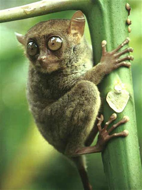 tarsiers the big eyed, ancient, nocturnal mammal