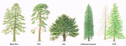 Type Of Trees by Types Of Trees With Pictures Www Imgarcade Com Online
