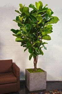 buy large house plants online 1000 images about plants that make a statement on pinterest indoor plant pots