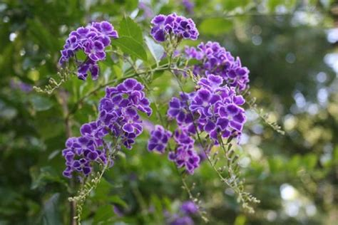 Ta Bush Gardens by Skyflower Golden Dewdrops Duranta Duranta Repens