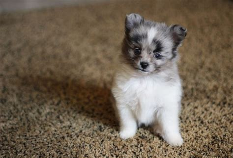 australian shepherd pomeranian pin by kennedey murray on in the future