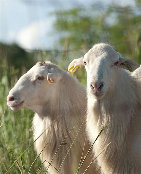 Types Of Hair Sheep by Animal Science Hair Sheep