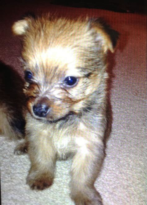 yorkie pom temperament yorkie mixed breeds picture