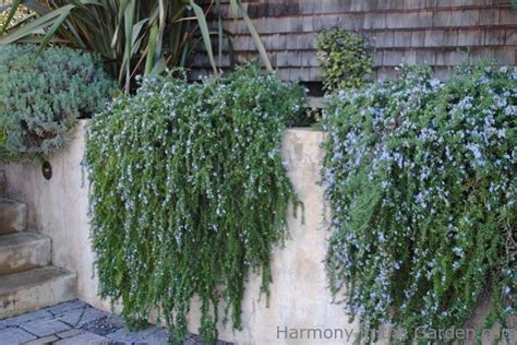 plants that drape over walls rosemary in the garden harmony in the garden