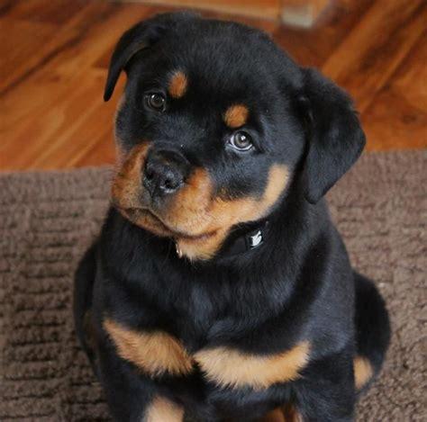 german rottweiler puppies for sale near me best 25 german rottweiler ideas on