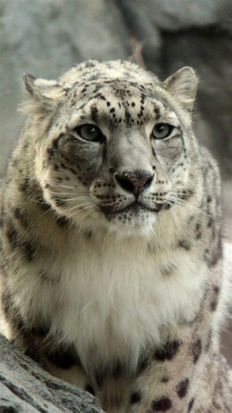 snow leopard wallpaper  images