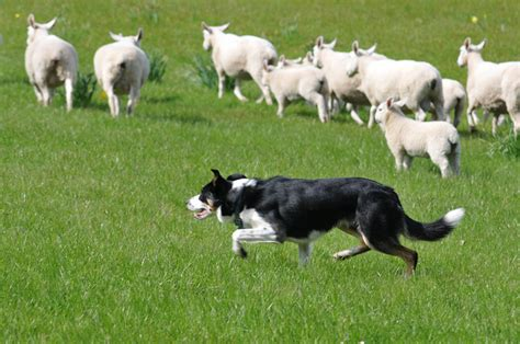 most trainable dogs the 10 most trainable breeds