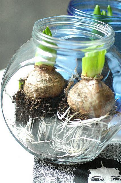 bulbi in vaso bulbi in vaso per un natale profumato e una nuova rivista