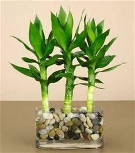 images  good luck bamboo plants  pinterest