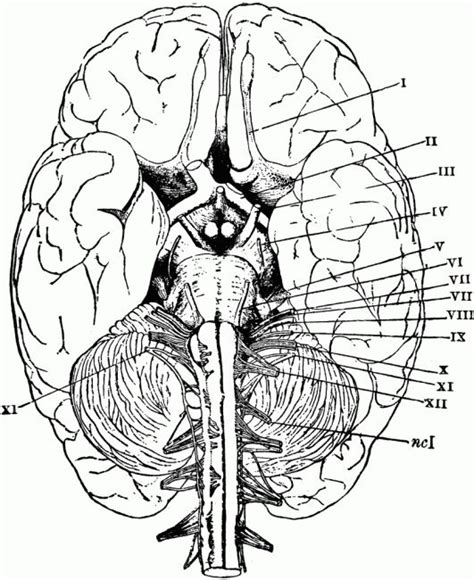 anatomy coloring book college 1000 ideas about brain anatomy on brain