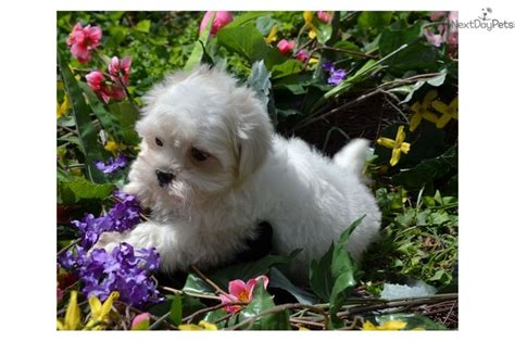 puppies for sale in charlottesville va mal shi malshi puppy for sale near charlottesville virginia 77d85388 2781