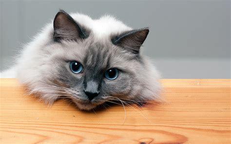 rag doll live il gatto ragdoll gigante buono tra i felini animali