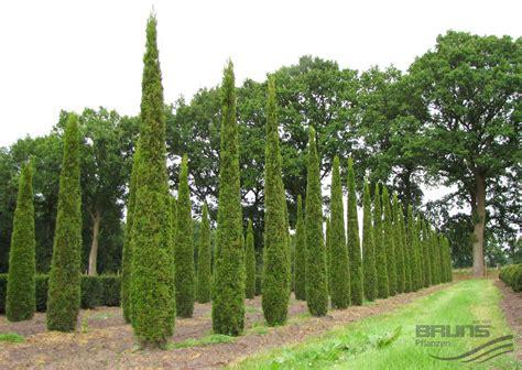 8 Pots by Thuja Occidentalis Smaragd Smaragd Lebensbaum