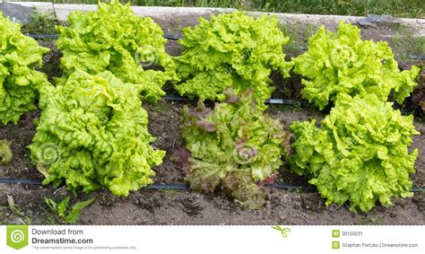Raised Bed Vegetables Royalty Free Stock Photography