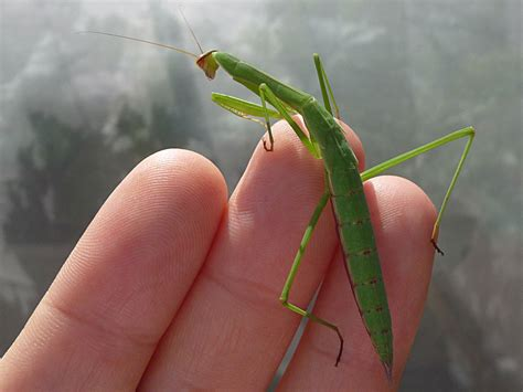 praying mantis for garden pest beneficial insects the allies of our organic