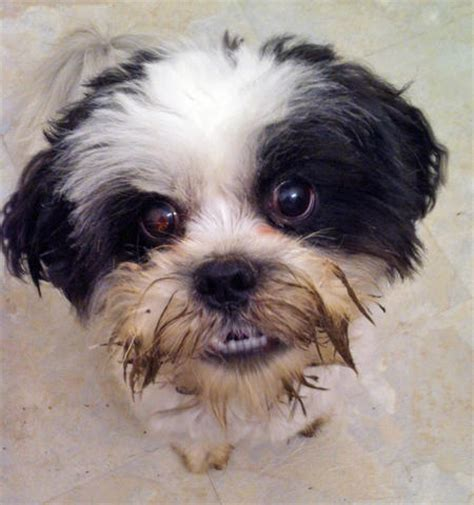 how many years does a shih tzu live burt the shih tzu dogs daily puppy