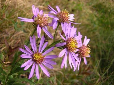 fiori di montagna foto e nomi pertica bassa alla scoperta dei fiori di montagna