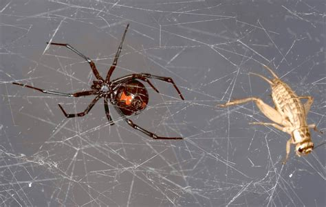 web pattern black widow genetic researchers extract sequence dna from spider webs