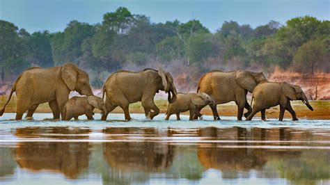 elephants walking bing wallpaper