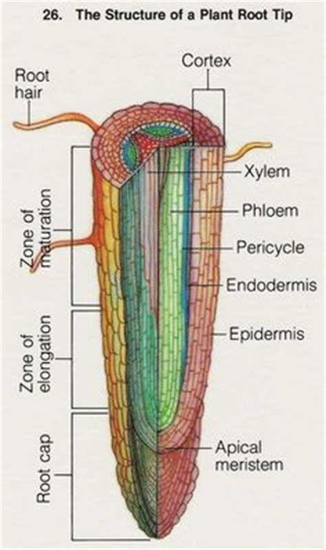 root structure diagram 1000 images about cross section on cross