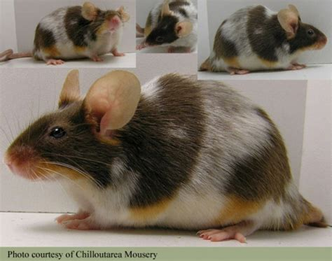 mouse colors 17 best images about color mutations other animals on