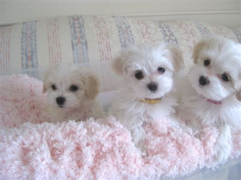 havanese indiana white havanese puppies www pixshark images galleries with a bite