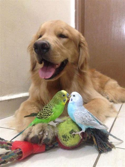 golden retriever with birds meet bob the golden retriever with the flyest friends 171 twistedsifter