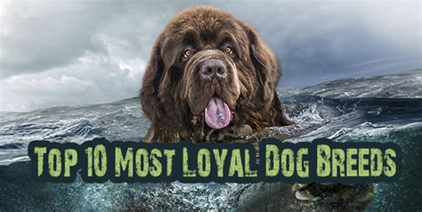 loyal breeds top 10 breeds in the world page 8 of 10 dogs addict