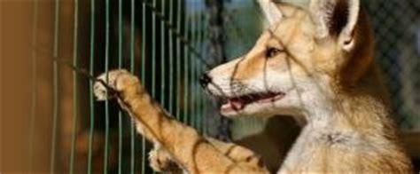 animali da gabbia agireora network informazioni sugli animali usati per