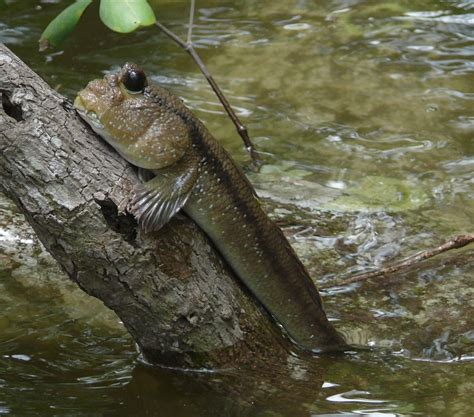 tree fish aquatic science the mudskipper