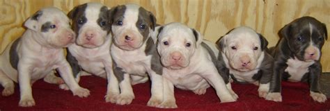 how to pitbull puppies how to a pit bull puppy to be non aggressive