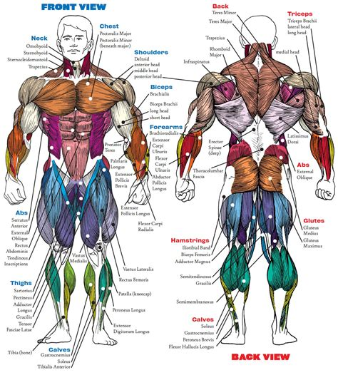 gallery anatomy of lower back muscles human anatomy diagram