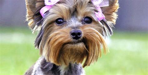 yorkie rescue indiana my pet salonlove my pet salon indiana s premiere all breed cat