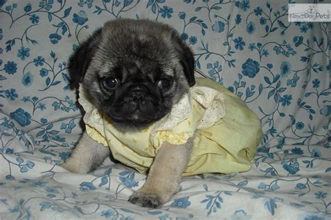 pugs for sale in missouri pug puppy for sale near joplin missouri 0cd37581 a541