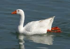 ohio bird photo collection domestic greylag goose