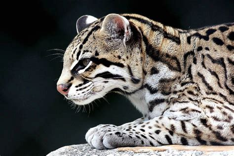 the adorable ocelot 30 pics 171 twistedsifter