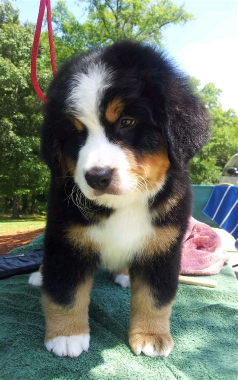 bernese mountain names bernese mountain puppy one of the most beautiful dogs
