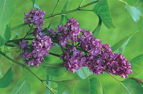 top 10 flowering shrubs french lilac mother earth pinterest