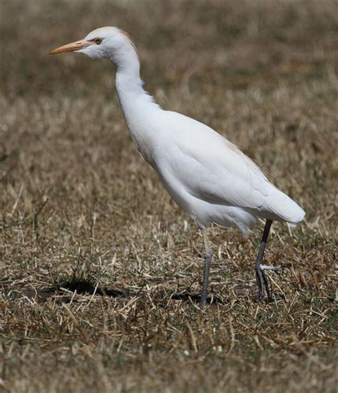 cattle egret flickr photo sharing