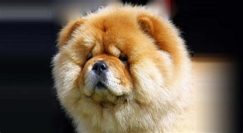chow chow animals chow chow dog photos hd wallpapers