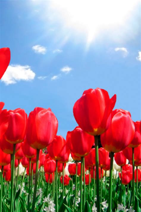 wallpaper hd for android flower flower red tulips android wallpaper