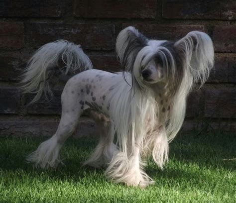 chihuahua with bangs hairstyles 77 best images about powder puffs chinese crested on