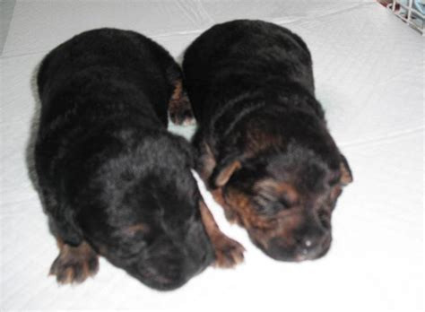 rottweiler puppies 1 week one week rottweiler puppies dumped in a bag outside an aldi supermarket in bolton