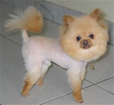 how to groom a pomeranian cut pomeranian grooming how to do it yourself dvd ebay