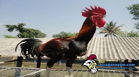 Promo Pelung aneka ragam ayam hias yang unik artikel sabung ayam