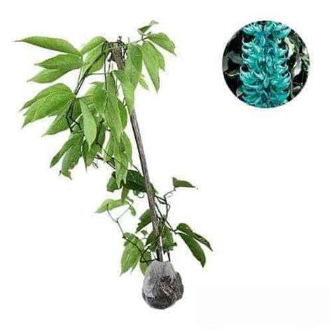 bibit jade vine jual tanaman jade vine emerald vine bibit