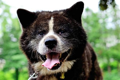canine breed akita breed 187 information pictures more