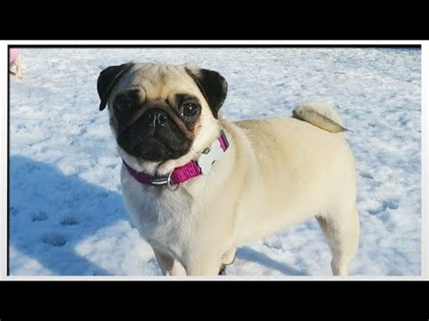 dantdm pugs the minecart pugs in the snow moretdm dantdm