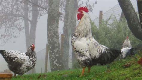 alimentazione delle galline alimentazione galline contro fratelli srl
