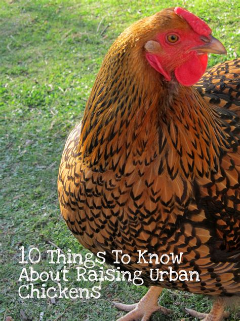 Backyard Chickens What You Need Raising Chickens And What You Need To